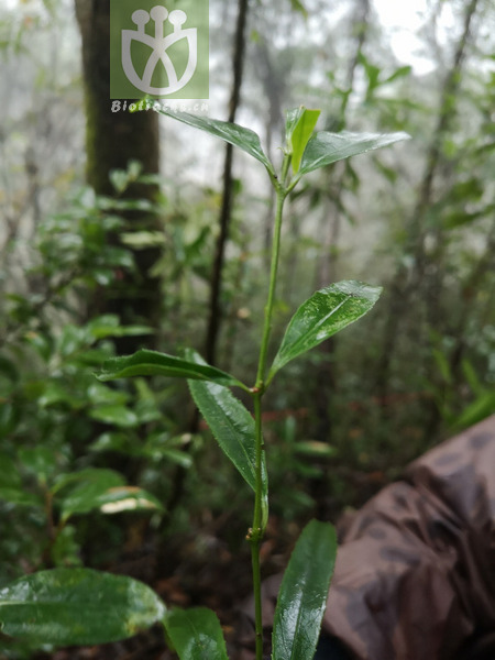 Euonymus yunnanensis