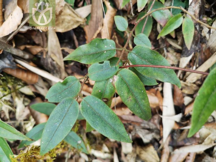 Lonicera heterophylla