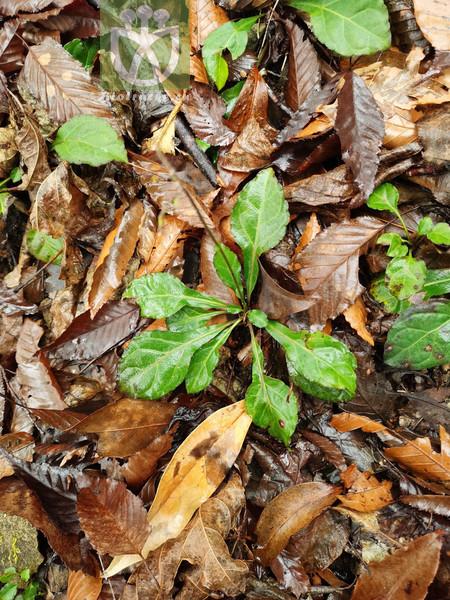 Ainsliaea latifolia