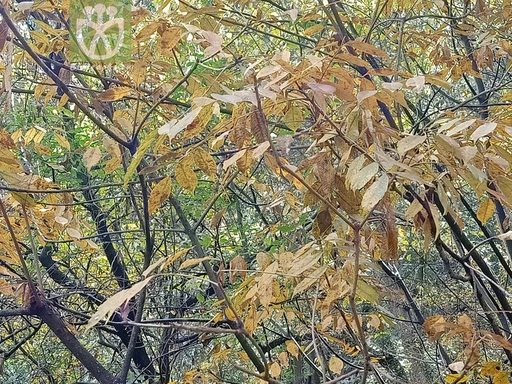 Carya cathayensis