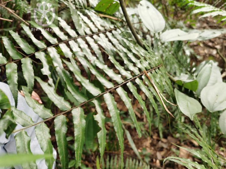 Alsophila podophylla