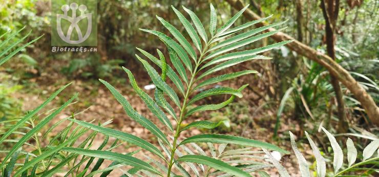 Osmunda angustifolia