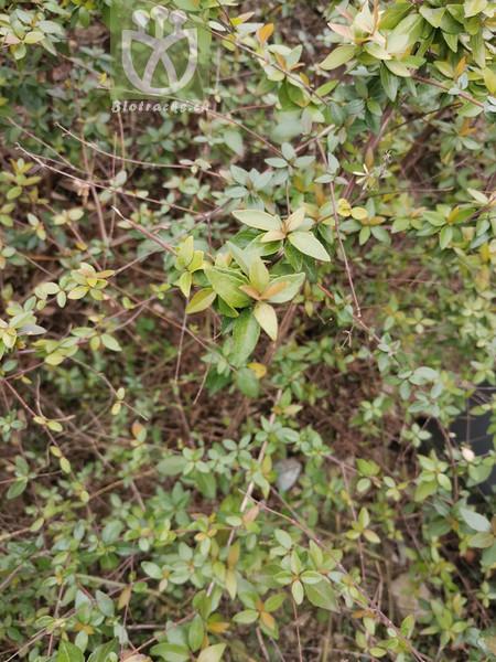 Cotoneaster acuticarpa