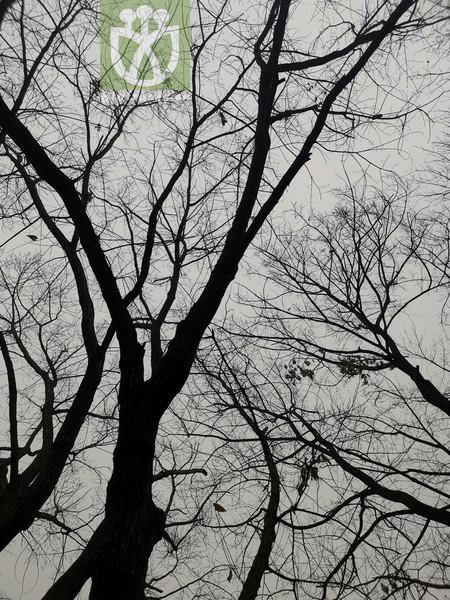 Quercus chinensis