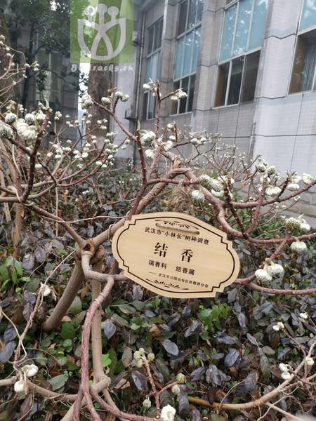 Magnolia tomentosa