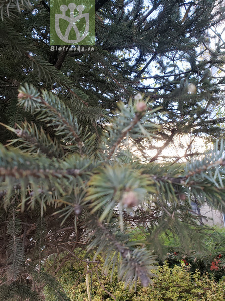 Picea asperata
