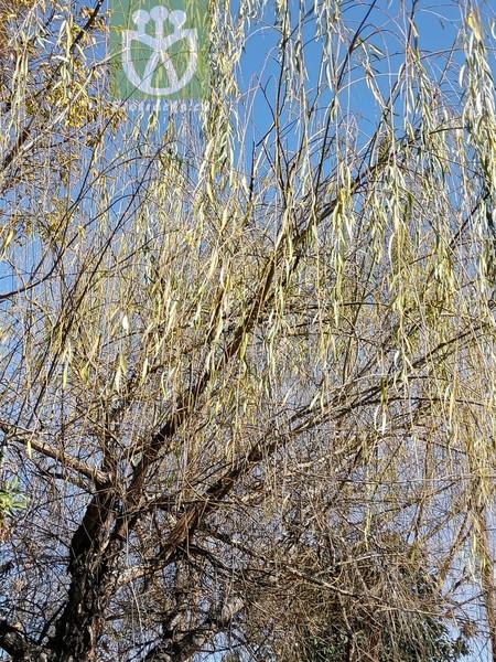 Salix babylonica var. babylonica