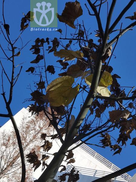 Firmiana platanifolia