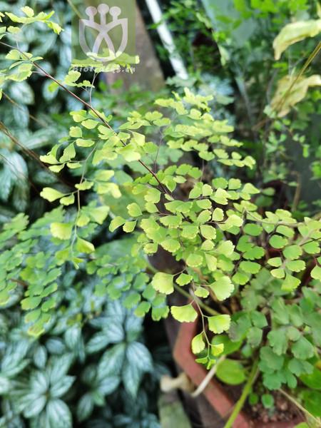 Adiantum capillus-veneris f. fissum