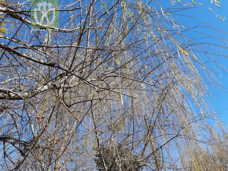 Salix babylonica var. lavallei