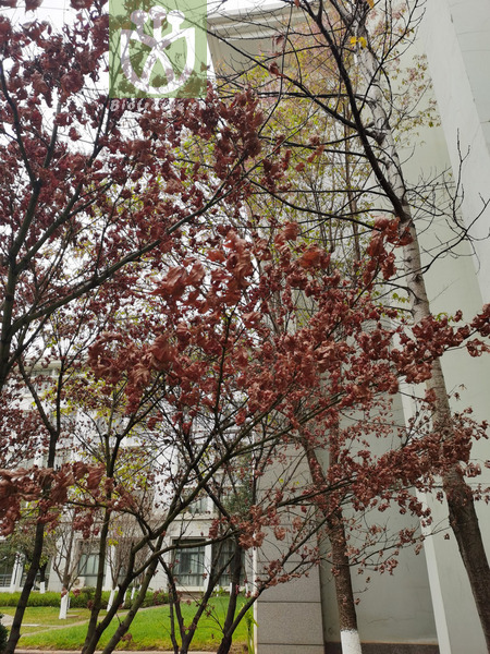 Acer polymorphum