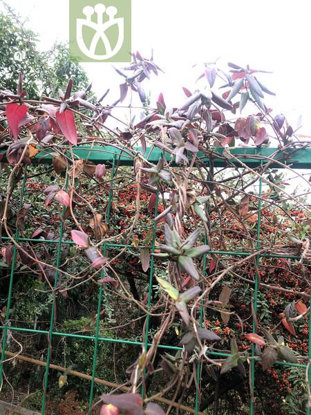 Lonicera japonica var. japonica