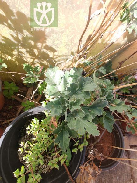 Artemisia leucophylla