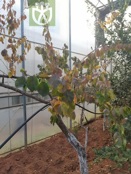 Armeniaca vulgaris var. ansu