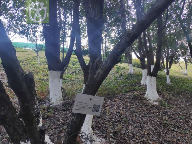 Eucalyptus globulus subsp. maidenii