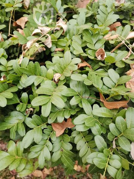 Pistacia weinmanniifolia