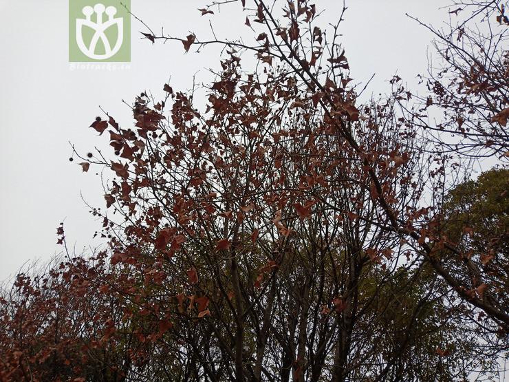 Liquidambar formosana
