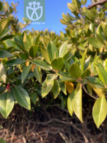Euonymus omeiensis