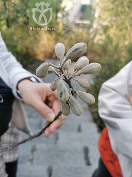Cymaria acuminata