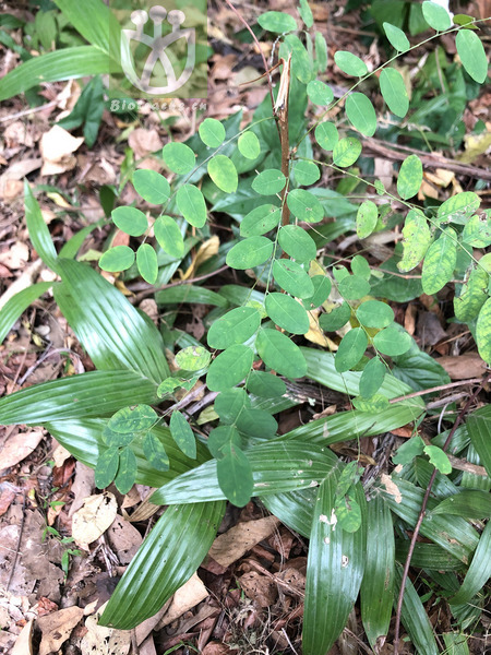 Phyllanthus urinaria