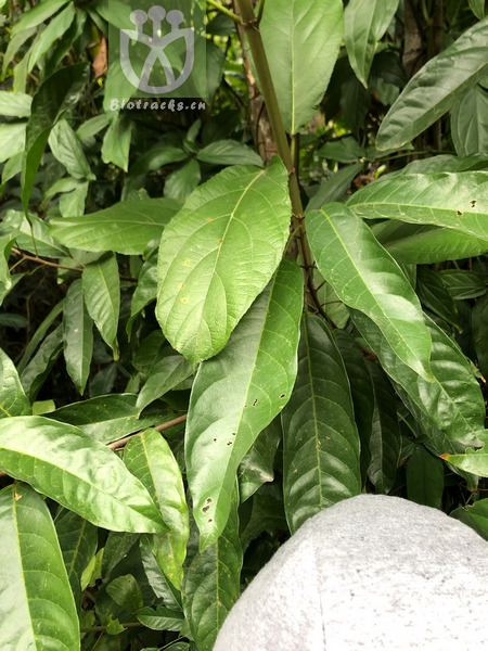 Populus ussuriensis