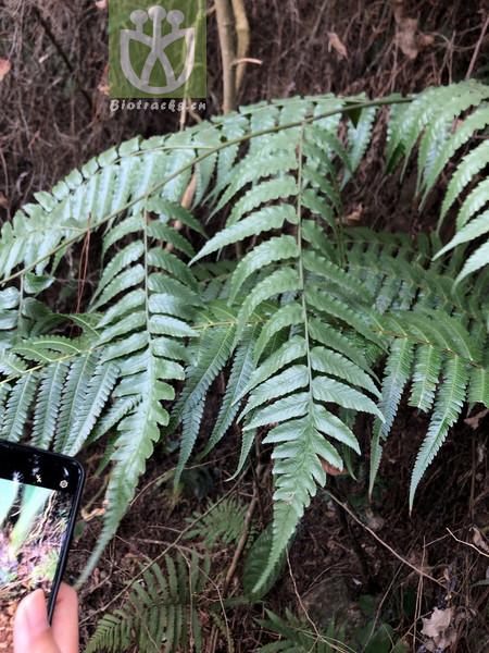 Diplazium donianum var. donianum