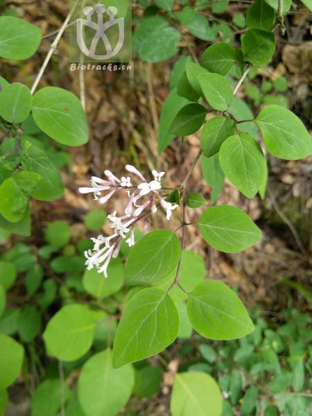 Daphne micrantha