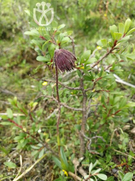 Cremanthodium campanulatum