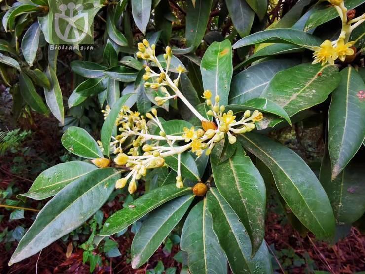 Casearia kurzii var. gracilis