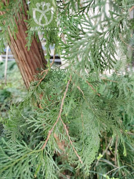 Chamaecyparis obtusa