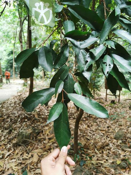 Heritiera parvifolia