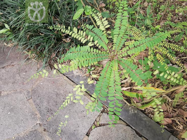 Phyllanthus hainanensis