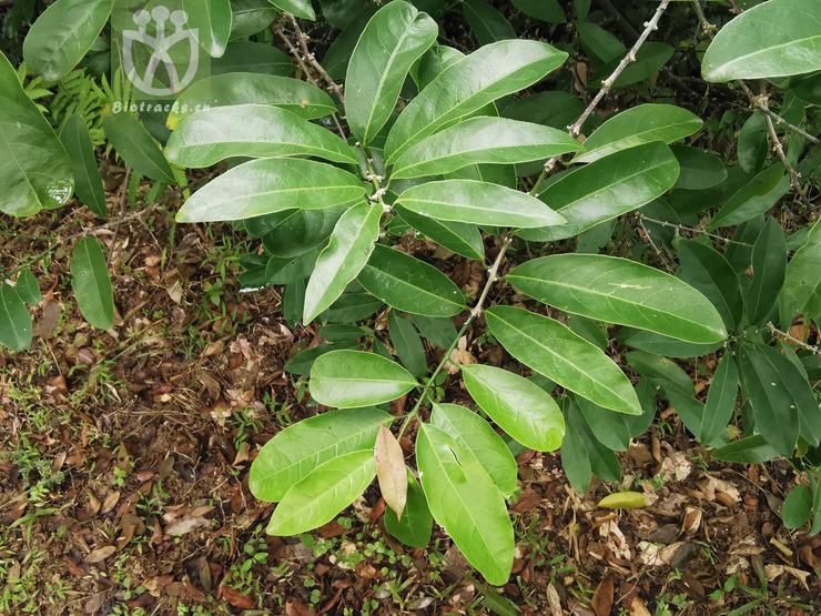 Salacia amplifolia