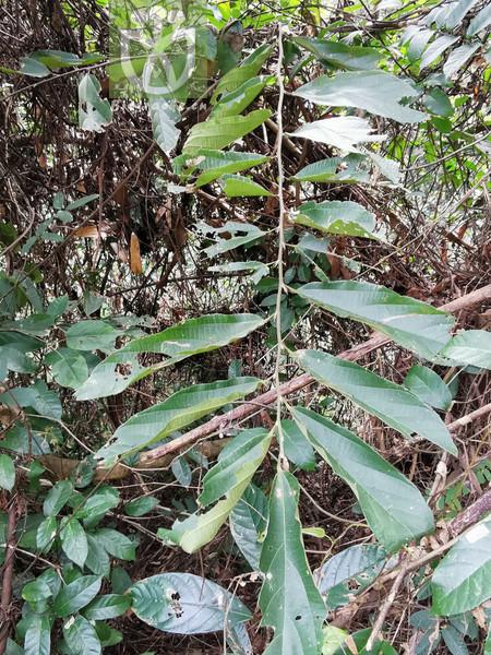 Microcos paniculata