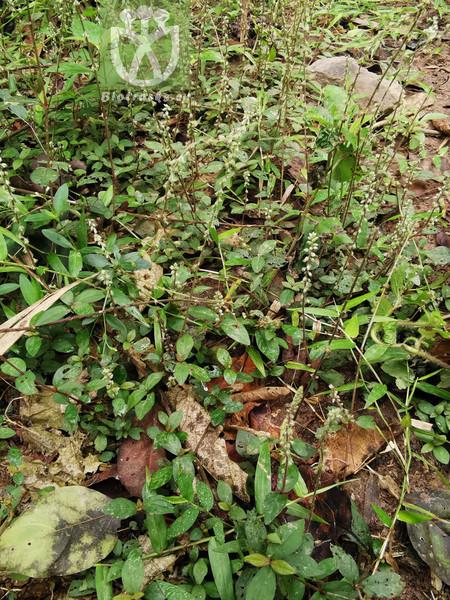 Achyranthes alternifolia