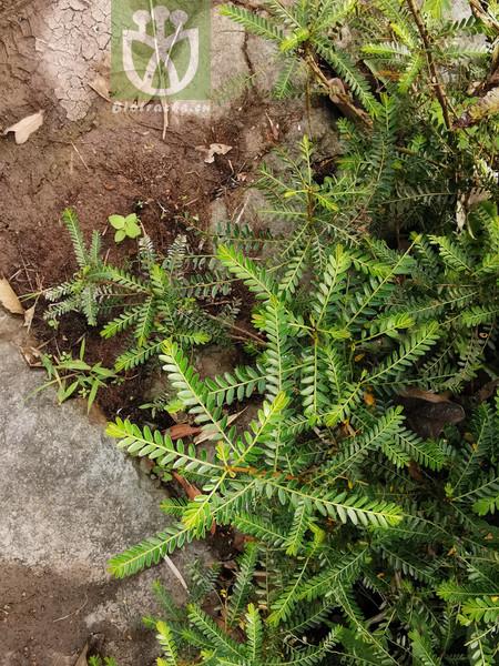 Phyllanthus parvifolius