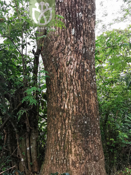 Cinnamomum camphora var. hosyo