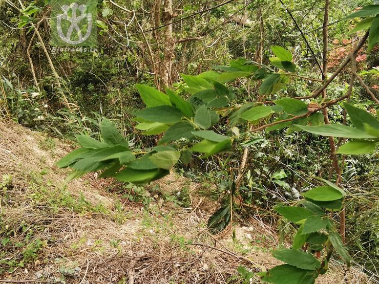 Pulmonaria mollissima