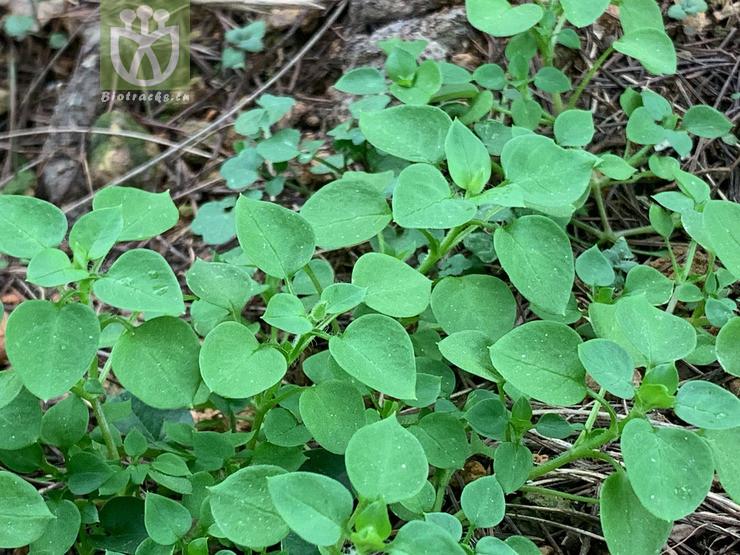 Origanum latifolium