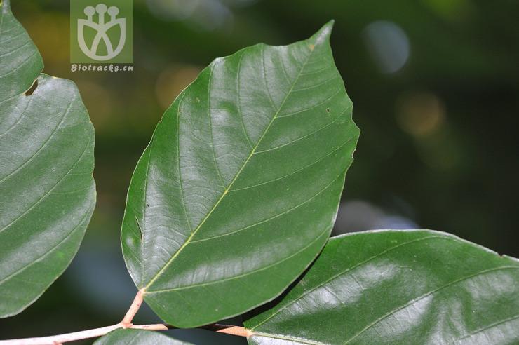 Pterospermum heterophyllum