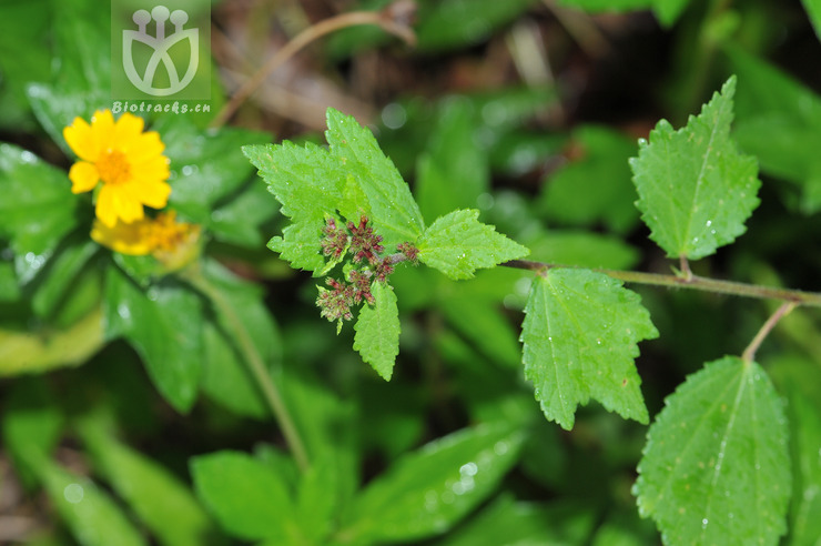 Triumfetta rhomboidea