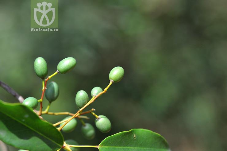 Elaeocarpus chinensis
