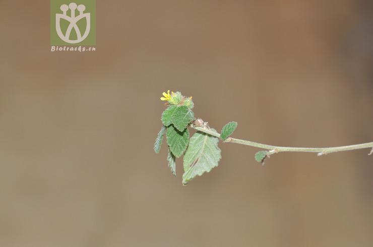 Waltheria indica