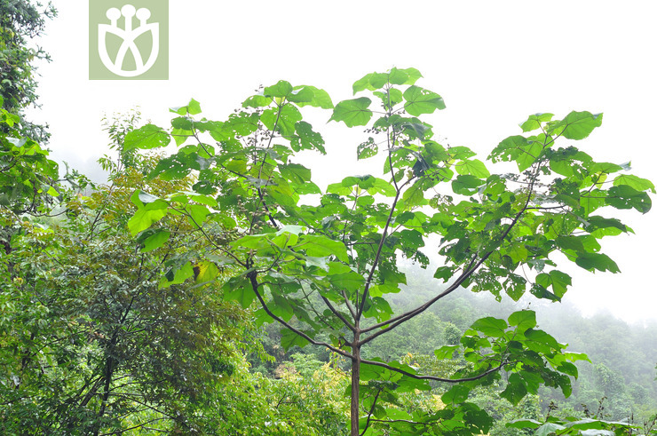Paulownia kawakamii