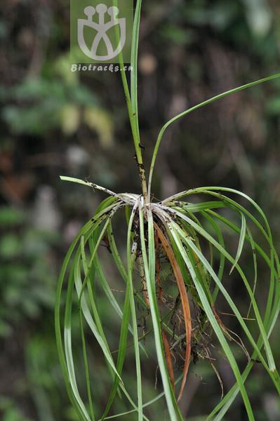 Aletris spicata