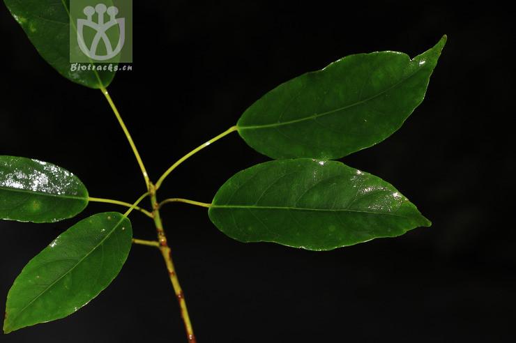 Elaeocarpus japonicus
