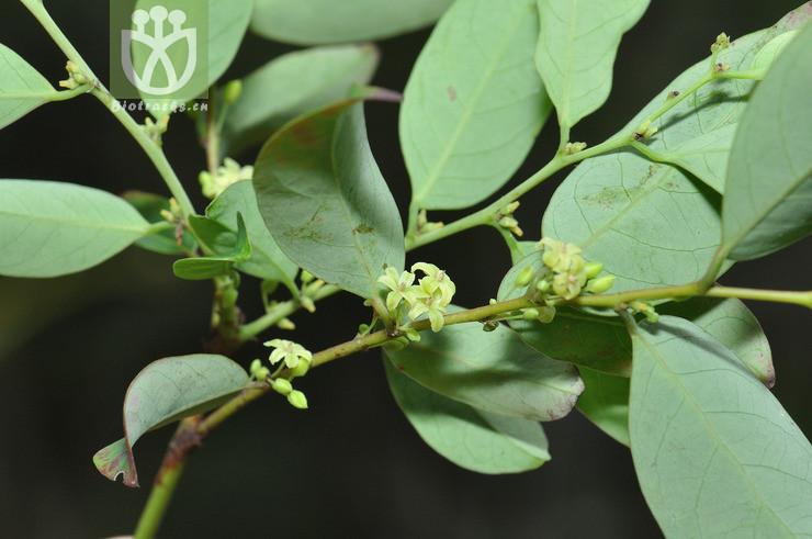 Phyllanthus wrightii