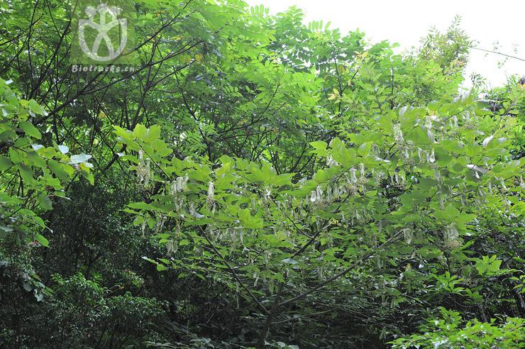 Tilia endochrysea