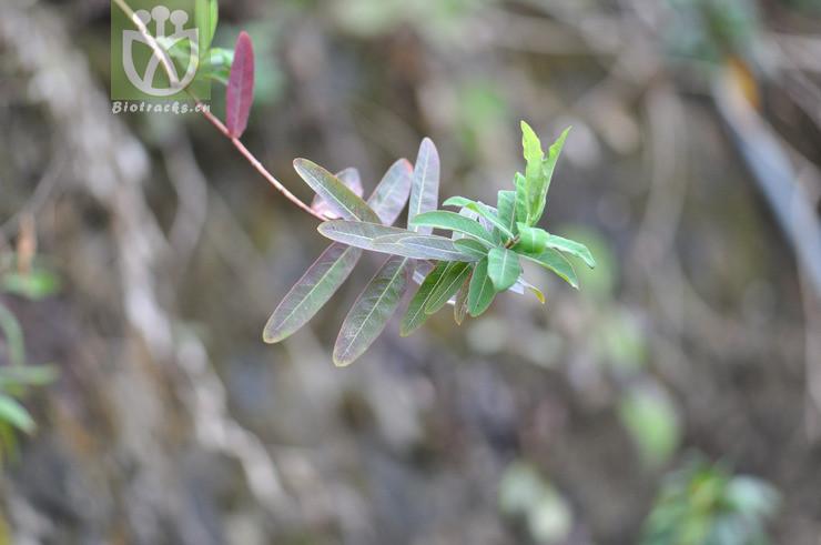 Hypericum monogynum