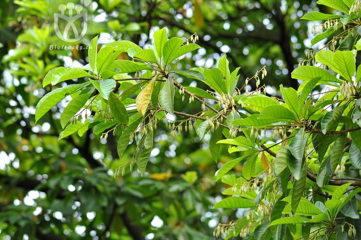 Elaeocarpus apiculatus
